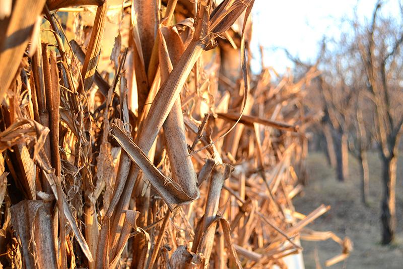 closeup of dried cornhusks in fall