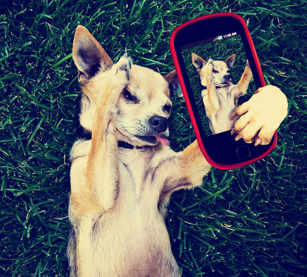 chihuaha taking a selfie for instagram
